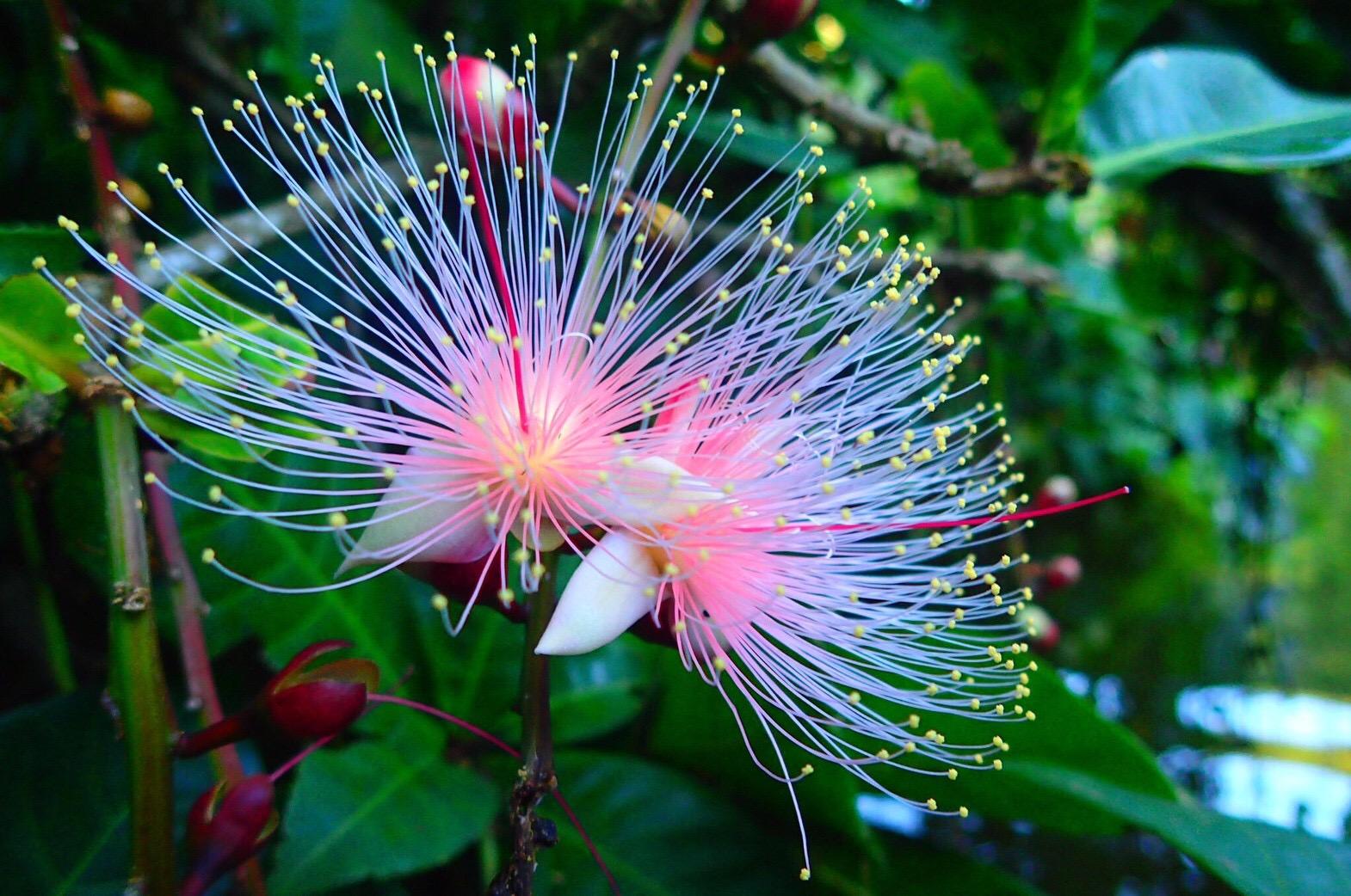 西表島のサガリバナはカヤックのツアーで見に行こう。開花時期や花言葉も紹介!