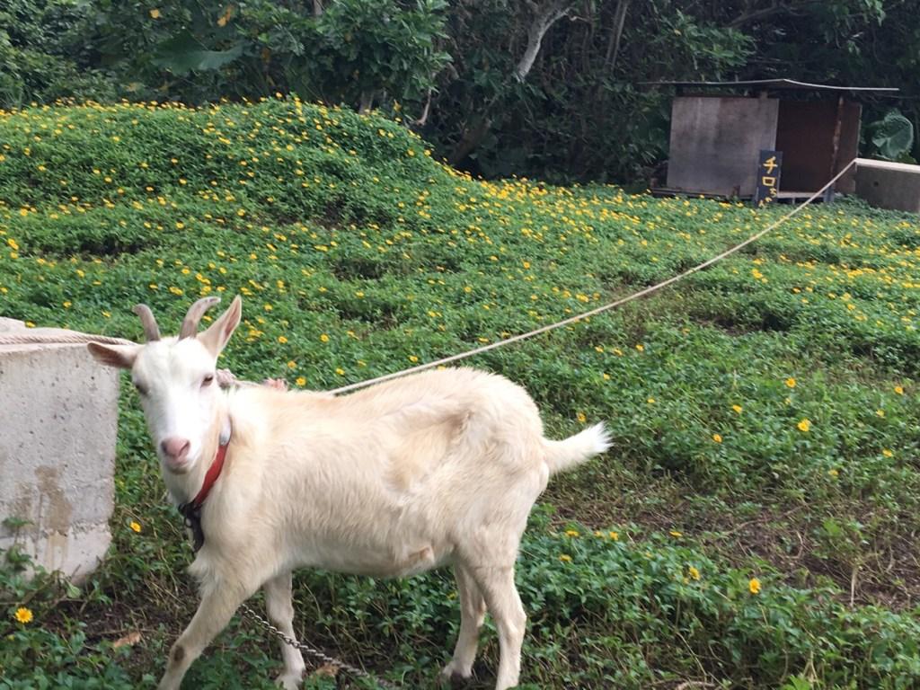 沖縄県西表島の定番ペットはヤギ?ツアーガイドが語るチロとヤギ汁(ヒージャー汁)のドキュメント