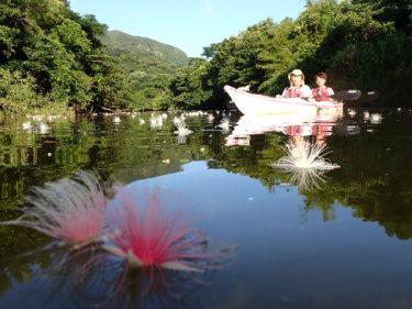 西表島のサガリバナが見頃を迎えました(^^) 早朝サガリバナツアー